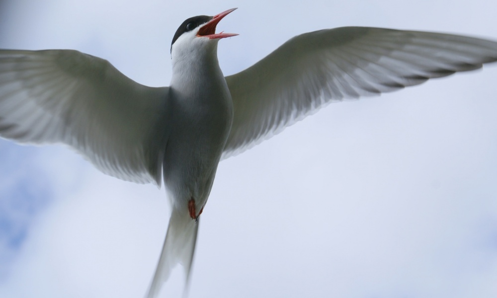An Arctic tern protecting its nest near Markarfljot river in south Iceland. Photograph: OddurBen/Wikimedia